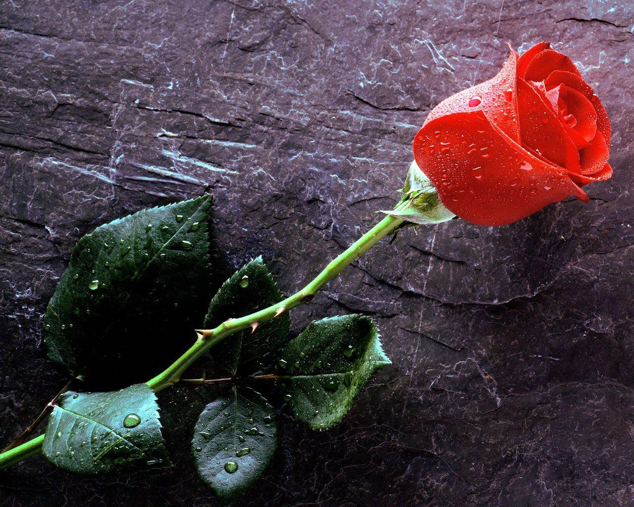 trueloveforeverredrose.jpg